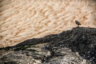 Coruja do Deserto #1