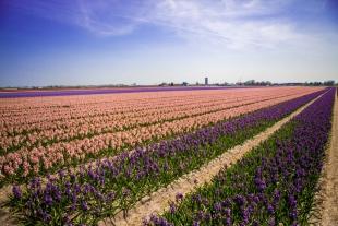 Amsterdam Flores #10